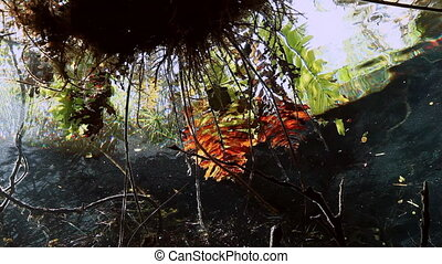 Turtle in grass and roots in Mexico cenote - Turtle in the...