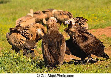 Cinereous vulture with griffon vultures - Two cinereous...