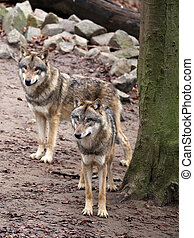 Pack of grey wolves