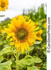 sonnenblume - sommer