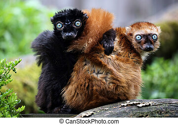Blue eyed lemur couple