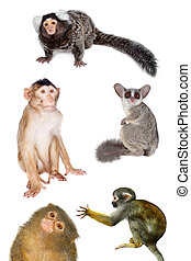 Primates set on white - Set of different primates, isolated...
