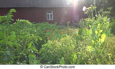 Herb marigold and camomile flowers grow in rural farm house...