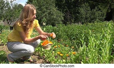 beautiful herbalist woman girl harvest marigold herb blooms....