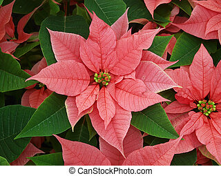 Red and Green - Poinsettia Euphorbia pulcherrima make a...