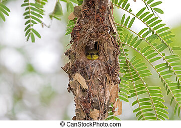 Cute little olive-backed yellow-bellied sunbird baby looking...
