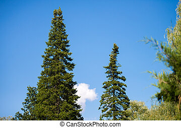 pines - the tip of the high pines against the blue sky