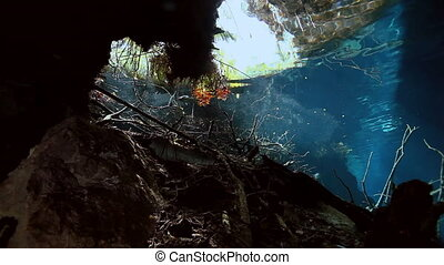 Striped fish in bush lake Yucatan Mexico cenote. - Striped...