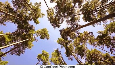 Camera spinning low angle shot through old growth trees. -...