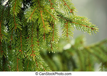 pine branch - beautiful pine branch in drops