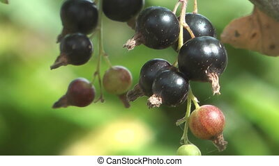 Blackberry. - Bunch of black currant closeup.