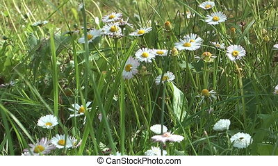 Daisy - Daisies on a summer lawn