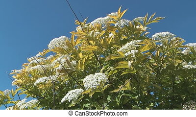 Elder. - HD 1080 shot of elderberry bush on a background of...