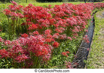 Flowers and agricultural waterway - Red spider lily flower...