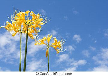 Golden spider lily - Bright golden spider lily flowers under...