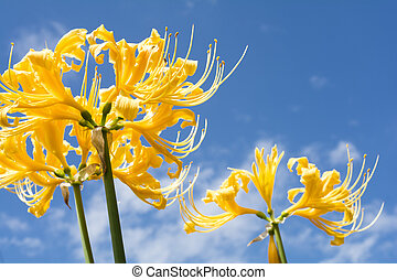 Golden spider lily - Close up bright golden spider lily...
