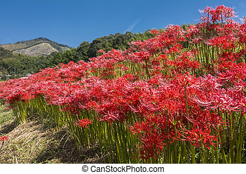 Red flower colony - Red spider lily flowers colony under...