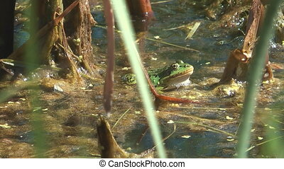 Frog. - Green frog hunting in the swamp.