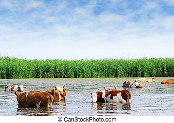 cows on watering place