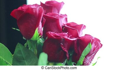 Red roses with dew drops on a white background. Close-up.