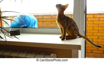 Abyssinian kitten playing with a Dracaena leaves, slow...