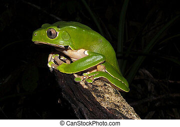 Bicolor monkey tree frog at night - Bicolor monkey tree frog...