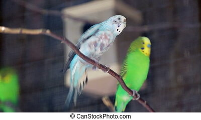 Blue-Bellied Roller - Budgerigar Couple Perched on a Tree...