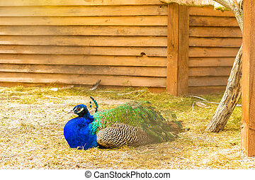 Peafowl grazing in a cage in poultry farm. Bird farm at St....