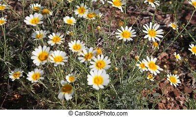 Daisy Flowers in a meadow