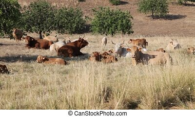 Herd of cows grazing in a meadow, Algarve Portugal