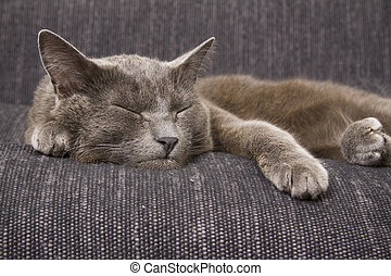 sleepy gray cat on a sofa