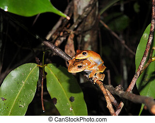 Pair of Convict tree frog at night - Pair of Convict tree...