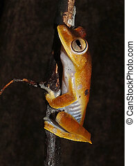 Convict tree frog at night - Convict tree frog, Hypsiboas...