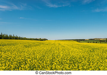 Yellow rapeseed field in bloom (Green Gables Shore, Prince...