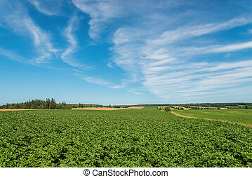 Green field of potatoes (Green Gables Shore, Prince Edward...