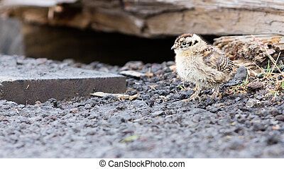 Rock ptarmigan (Lagopus mutus) chick crossing an ashphalt...