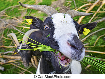 Goat eating grass - People friendly goat chewing a bunch of...