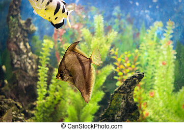 Fish in aquarium - A photo of an african moony in an...