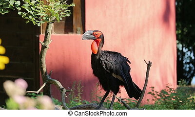Southern Ground Hornbill - Beautiful Southern Ground...