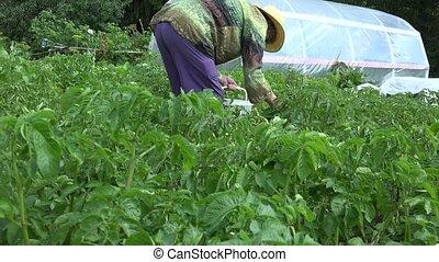 woman pick colorado beetle in garden near wooden house. 4K
