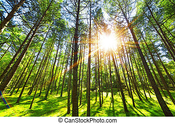 Pine forest tree wide angle view background