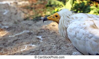 Egyptian Vulture Close Up of Head - Egyptian Vulture Extreme...