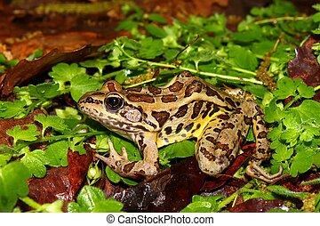 Pickerel Frog (Rana palustris)