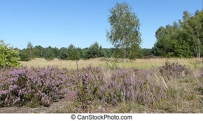 Heather moorland ambience - A heather moorland on a clear...