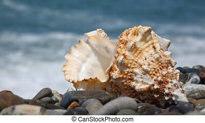 seashell on pebble beach, sea surf in background
