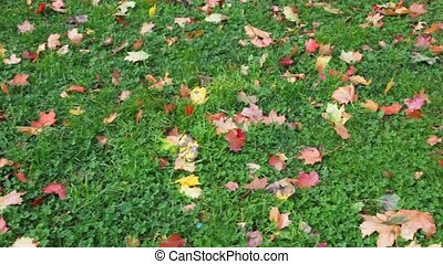 autumn red leaves on green grass, panning