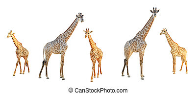 Giraffe set isolated on white background