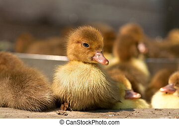 Musk duck ducklings