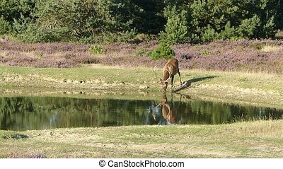 Stag looks at his mirror reflection - A red deer stag...