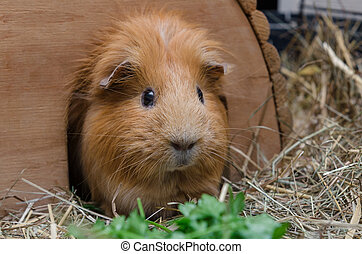 Portrait of cute red guinea pig eating parsley